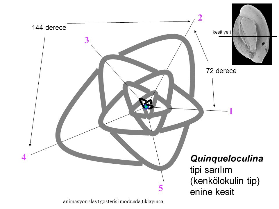 72 derece 144 derece Quinqueloculina tipi sarılım (kenkölokulin tip) enine kesit kesit yeri animasyon slayt gösterisi modunda,tıklayınca 3 1 2 4 5