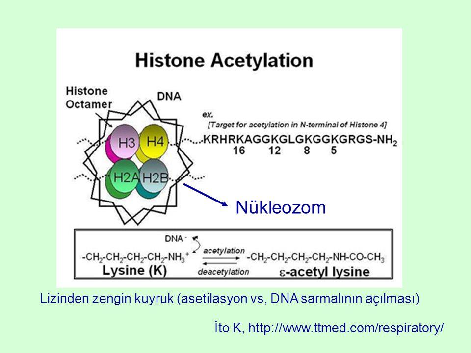 Nükleozom Lizinden zengin kuyruk (asetilasyon vs, DNA sarmalının açılması) İto K, http://www.ttmed.com/respiratory/