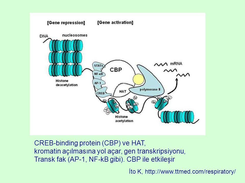CREB-binding protein (CBP) ve HAT, kromatin açılmasına yol açar, gen transkripsiyonu, Transk fak (AP-1, NF-kB gibi). CBP ile etkileşir İto K, http://w