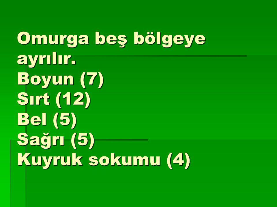 Omurga beş bölgeye ayrılır. Boyun (7) Sırt (12) Bel (5) Sağrı (5) Kuyruk sokumu (4)