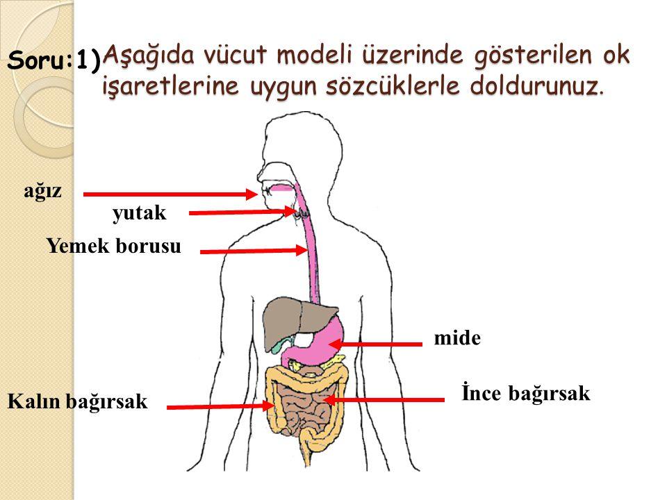 Aşağıda vücut modeli üzerinde gösterilen ok işaretlerine uygun sözcüklerle doldurunuz.