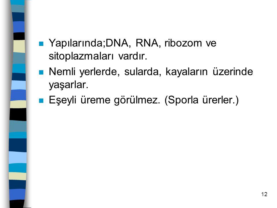 11 2.MAVİ-YEŞİL ALGLER n Zarlı organel ve çekirdek bulunmaz.