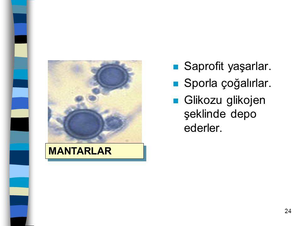 23 FUNGİLER(MANTARLAR) n Küfler,mayalar,şapkalı mantarlar diye sınıflandırılırlar. n Klorofilleri yoktur. n Fotosentez yapamazlar. n Hetetrofturlar. M