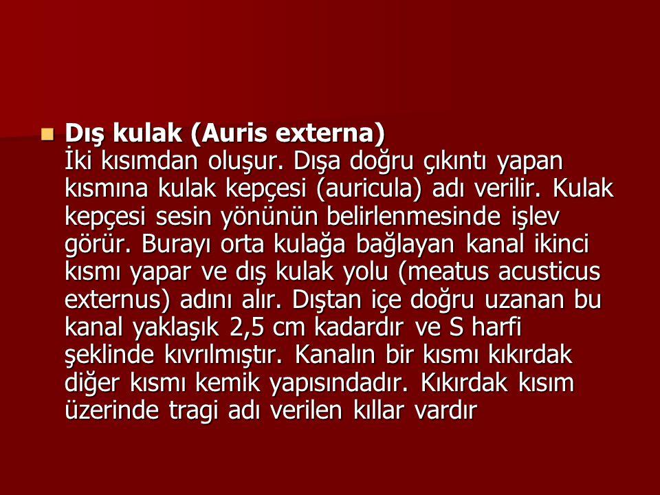 Dış kulak (Auris externa) İki kısımdan oluşur.