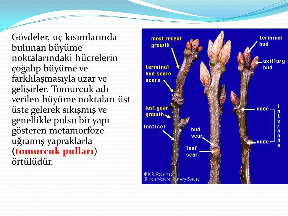 Gövdeler, uç kısımlarında bulunan büyüme noktalarındaki hücrelerin çoğalıp büyüme ve farklılaşmasıyla uzar ve gelişirler. Tomurcuk adı verilen büyüme