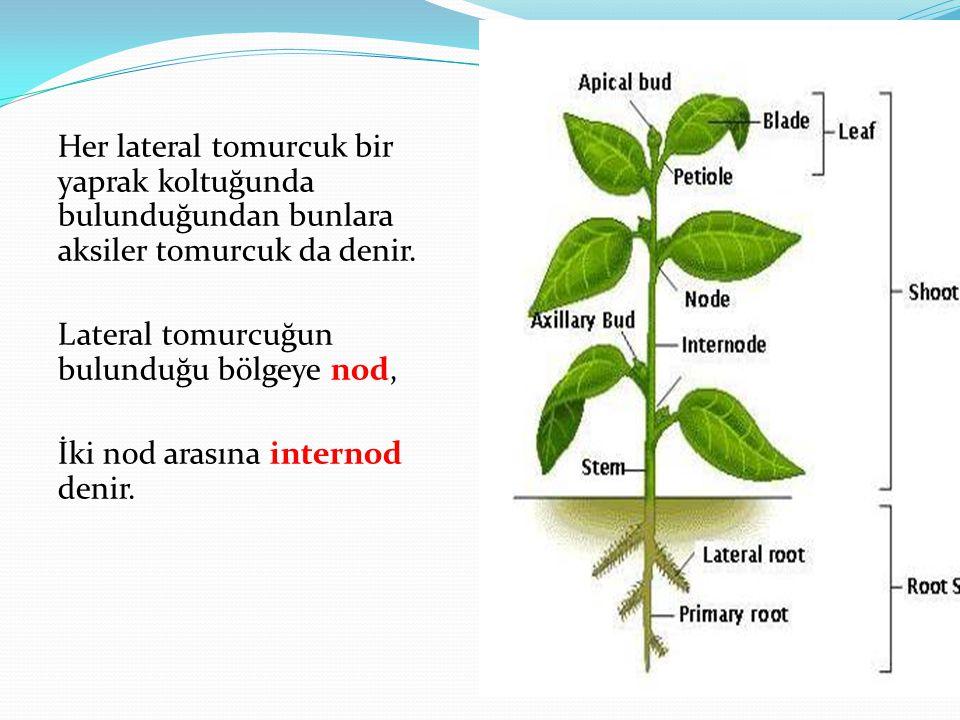Her lateral tomurcuk bir yaprak koltuğunda bulunduğundan bunlara aksiler tomurcuk da denir. Lateral tomurcuğun bulunduğu bölgeye nod, İki nod arasına