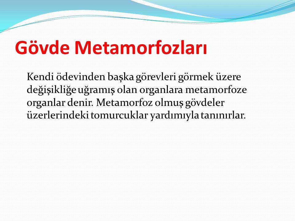 Gövde Metamorfozları Kendi ödevinden başka görevleri görmek üzere değişikliğe uğramış olan organlara metamorfoze organlar denir. Metamorfoz olmuş gövd