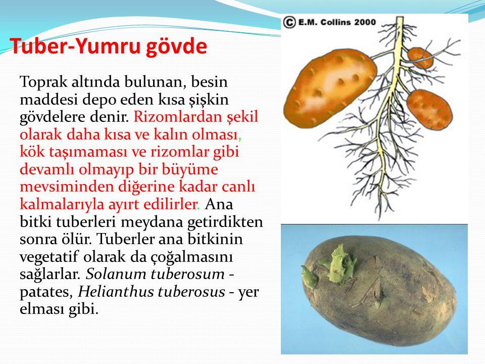 Tuber-Yumru gövde Toprak altında bulunan, besin maddesi depo eden kısa şişkin gövdelere denir. Rizomlardan şekil olarak daha kısa ve kalın olması, kök