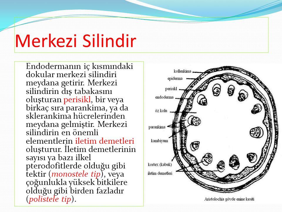 Merkezi Silindir Endodermanın iç kısmındaki dokular merkezi silindiri meydana getirir. Merkezi silindirin dış tabakasını oluşturan perisikl, bir veya