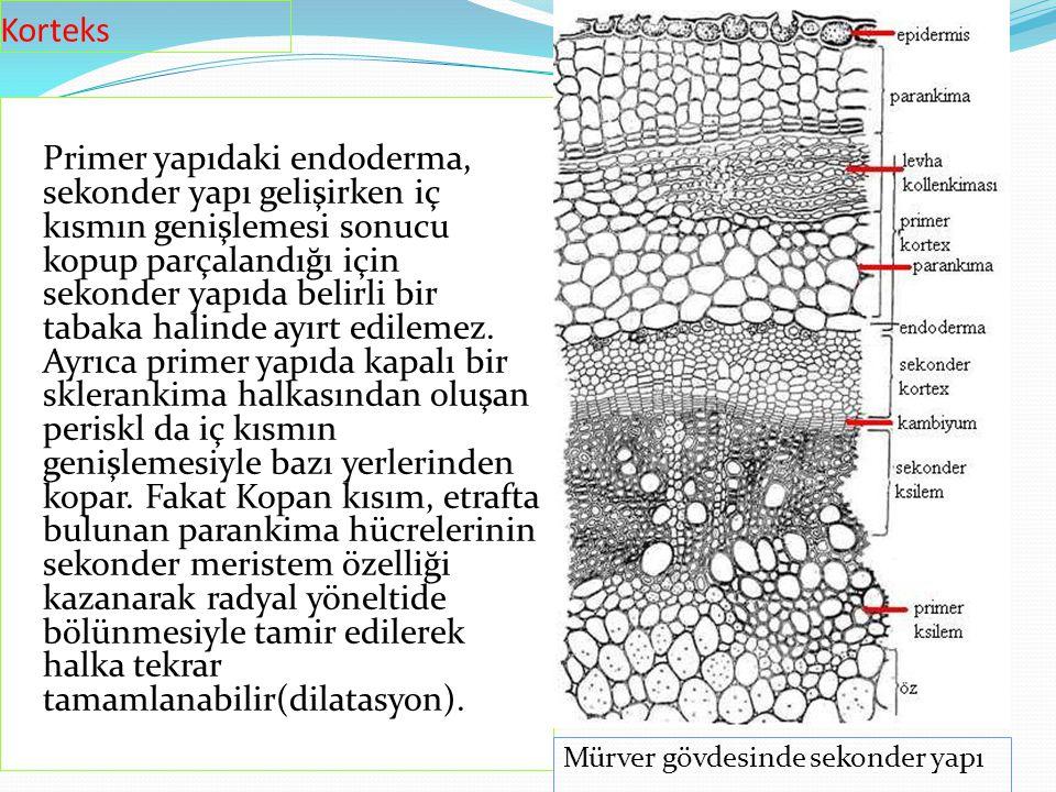 Primer yapıdaki endoderma, sekonder yapı gelişirken iç kısmın genişlemesi sonucu kopup parçalandığı için sekonder yapıda belirli bir tabaka halinde ay