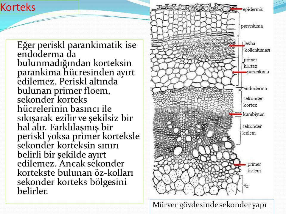Eğer periskl parankimatik ise endoderma da bulunmadığından korteksin parankima hücresinden ayırt edilemez. Periskl altında bulunan primer floem, sekon