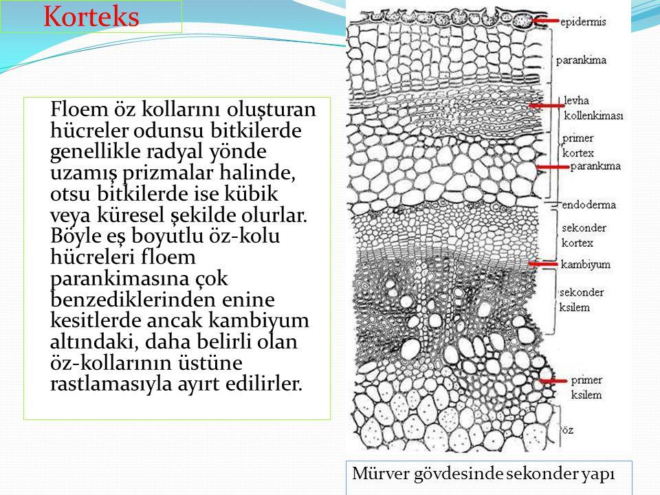 Floem öz kollarını oluşturan hücreler odunsu bitkilerde genellikle radyal yönde uzamış prizmalar halinde, otsu bitkilerde ise kübik veya küresel şekil