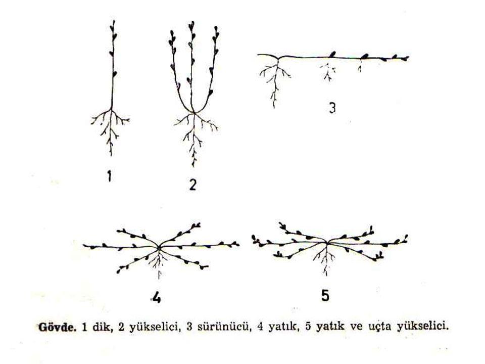 Gövdeler, uç kısımlarında bulunan büyüme noktalarındaki hücrelerin çoğalıp büyüme ve farklılaşmasıyla uzar ve gelişirler.