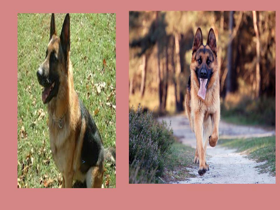 KÖPEK IRKLARI ALMAN KURDU; 1. Duruş ve Hareket Alman çoban köpeğinin tırıs tarzı bir yürüyüşü vardır.Yürüyüş tarzı diyagonal bir hareket şeklindedir.