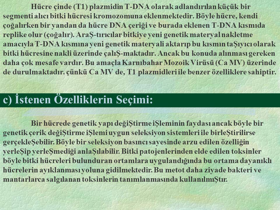 c) İstenen Özelliklerin Seçimi: Hücre çinde (T1) plazmidin T-DNA olarak adlandırılan küçük bir segmenti alıcı bitki hücresi kromozomuna eklenmektedir.