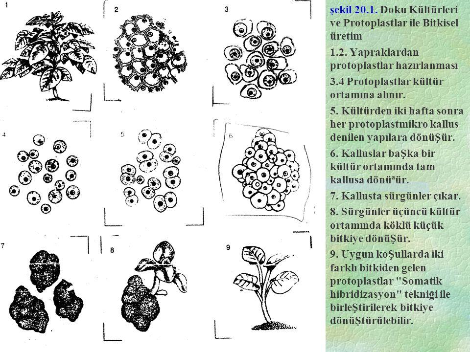 şekil 20.1.Doku Kültürleri ve Protoplastlar ile Bitkisel üretim 1.2.
