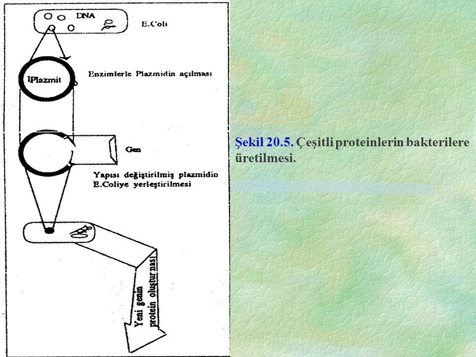 Şekil 20.5. Çeşitli proteinlerin bakterilere üretilmesi.