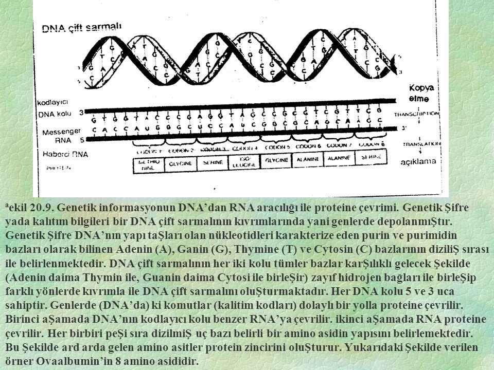 ªekil 20.9.Genetik informasyonun DNA'dan RNA aracılığı ile proteine çevrimi.