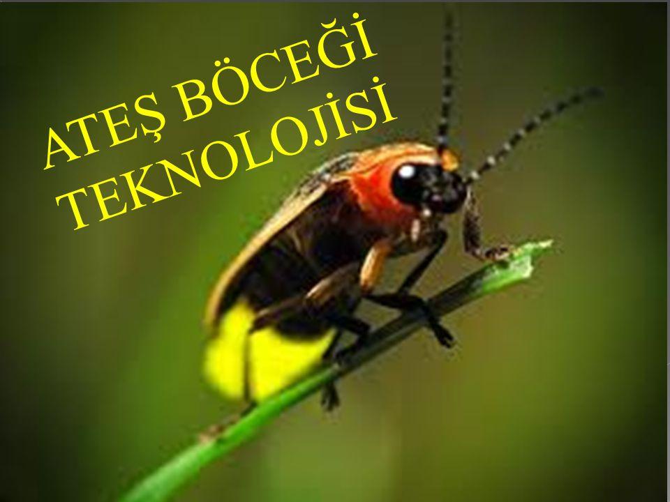  Gecenin karanlığında otların arasında veya havada uçarken parıldayan, yanıp sönerek sarı-yeşil bir ışık veren bir böceği görmüşsünüzdür.