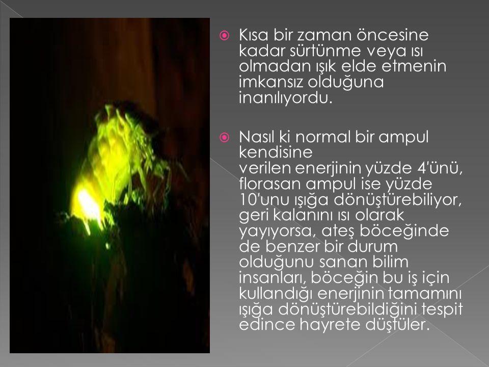  Ateş böceklerinin ışığı, karınlarında bulunan fotosit adlı özel hücrelerde oluşan kimyasal olaylar sonucunda ortaya çıkar.