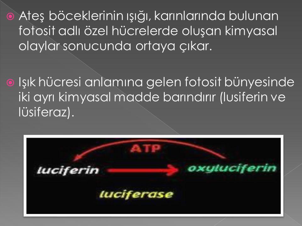 Işık hücresine oksijen gönderildiğinde bu iki kimyasal magnezyum ve ATP adlı iki yeni kimyasal ile birleşir (ATP bütün canlıların hücrelerinde enerji olarak kullandıkları bir bileşimdir).