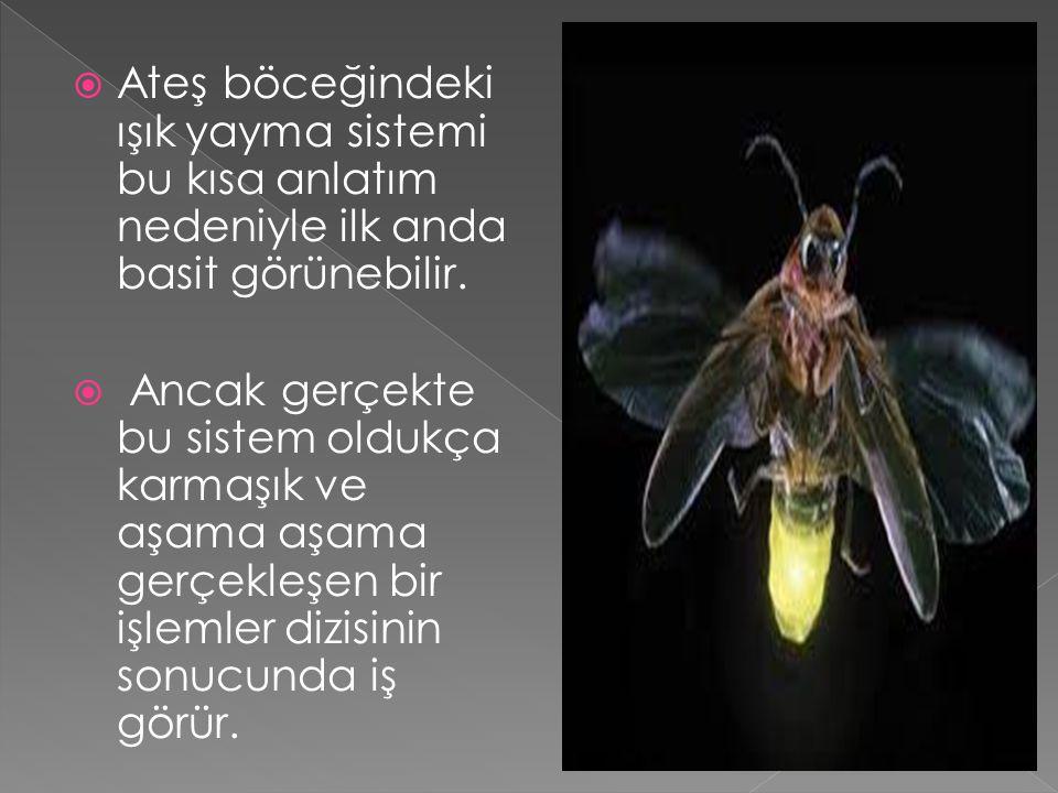  Nitekim ateş böceğinin nasıl ışık yaydığı, ancak 1980 lerde Bob Hillingsworth adlı bilim adamının çalışmaları sonucunda anlaşılabilmiştir.
