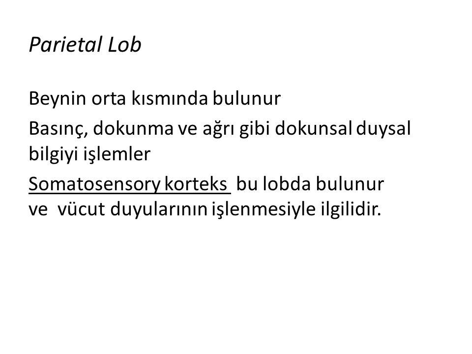 Temporal Lob Beynin alt kısmındadır.