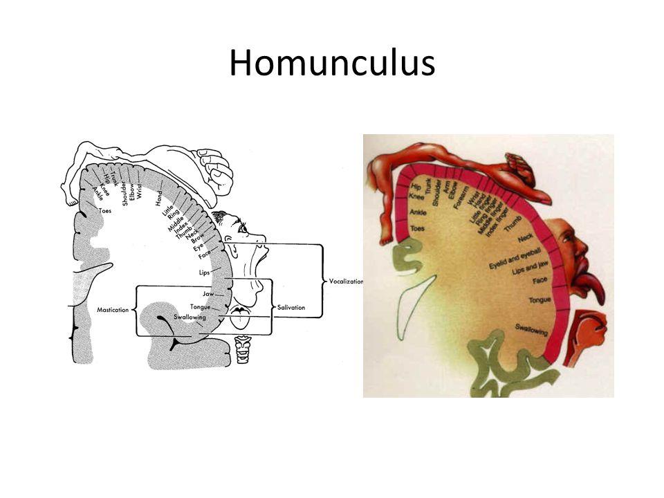 Beyin Sapı 1.Hidbrain: Medulla, pons ve retiküler formasyon yapılarından meydana gelir.