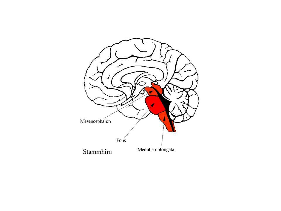 Serebellum 'Beyincik' olarak da adlandırılır Beyin sapının arkasında ponsun başına doğru uzanır.