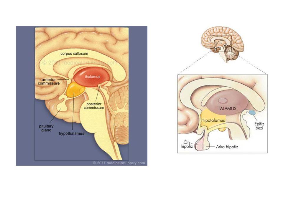 Limbik Sistem Dört ana yapının birleşmesinden oluşur: Hipokampus, amigdala, mamiller cisimcik, singulat girus Bu yapılar limbik sistemle hipotalamus, talamus ve serebral korteks arasında bağlantı kurar.