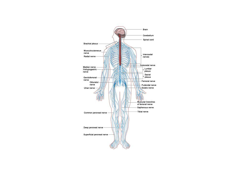 BEYİN İnsan vücudunun en kompleks organıdır