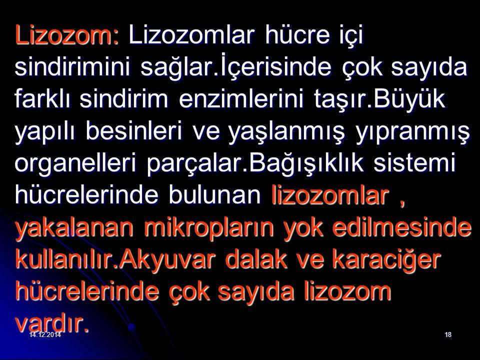 14.12.201418 Lizozom: Lizozomlar hücre içi sindirimini sağlar.İçerisinde çok sayıda farklı sindirim enzimlerini taşır.Büyük yapılı besinleri ve yaşlanmış yıpranmış organelleri parçalar.Bağışıklık sistemi hücrelerinde bulunan lizozomlar, yakalanan mikropların yok edilmesinde kullanılır.Akyuvar dalak ve karaciğer hücrelerinde çok sayıda lizozom vardır.