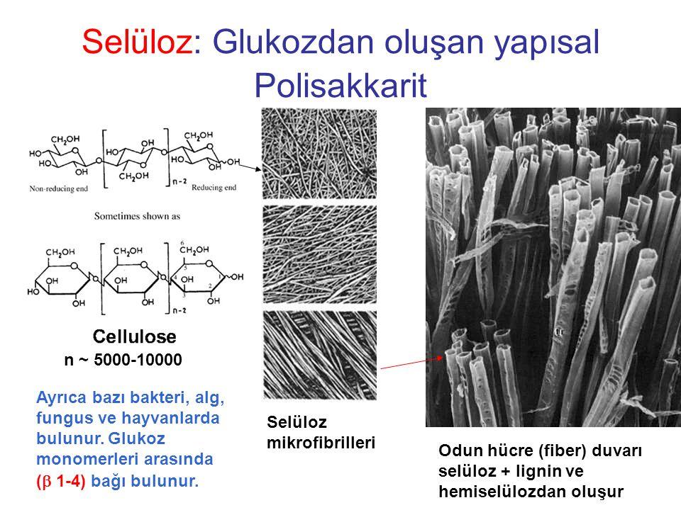 Selüloz: Glukozdan oluşan yapısal Polisakkarit Selüloz mikrofibrilleri Odun hücre (fiber) duvarı selüloz + lignin ve hemiselülozdan oluşur Ayrıca bazı bakteri, alg, fungus ve hayvanlarda bulunur.