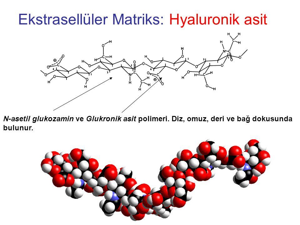 Ekstrasellüler Matriks: Hyaluronik asit N-asetil glukozamin ve Glukronik asit polimeri.