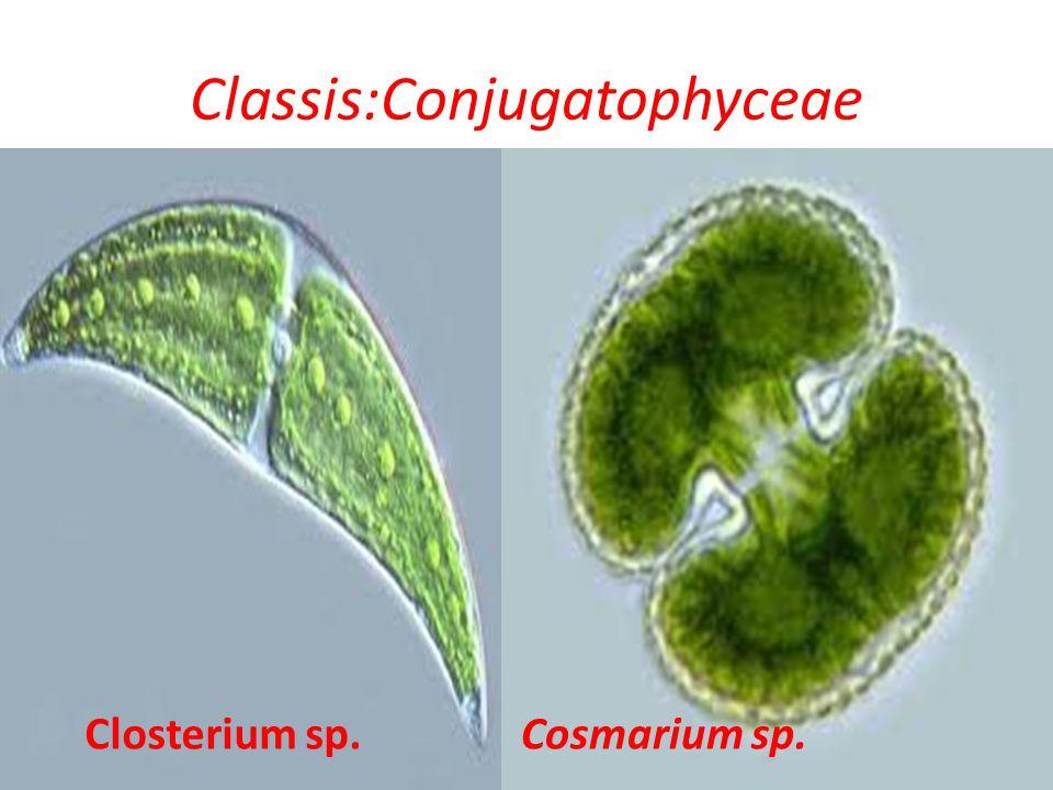Classis:Conjugatophyceae Closterium sp.Cosmarium sp.