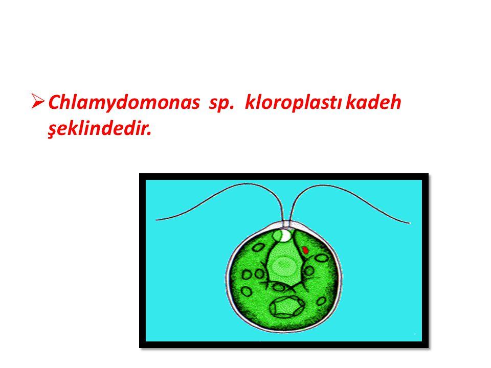  Chlamydomonas sp. kloroplastı kadeh şeklindedir.