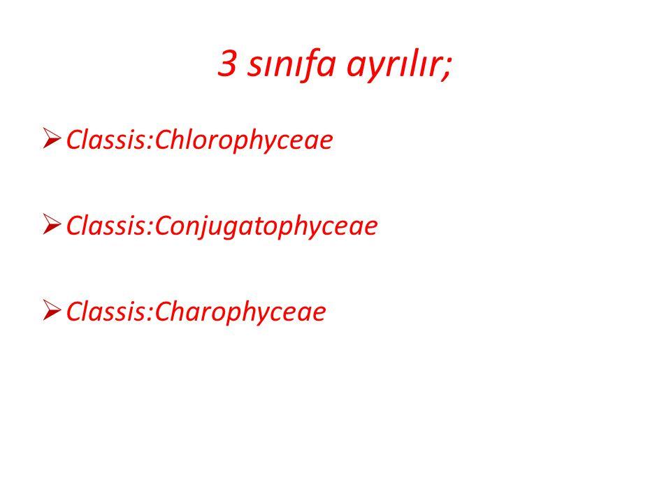 Classis:Chlorophyceae Acetabularia sp. Pediastrum sp.