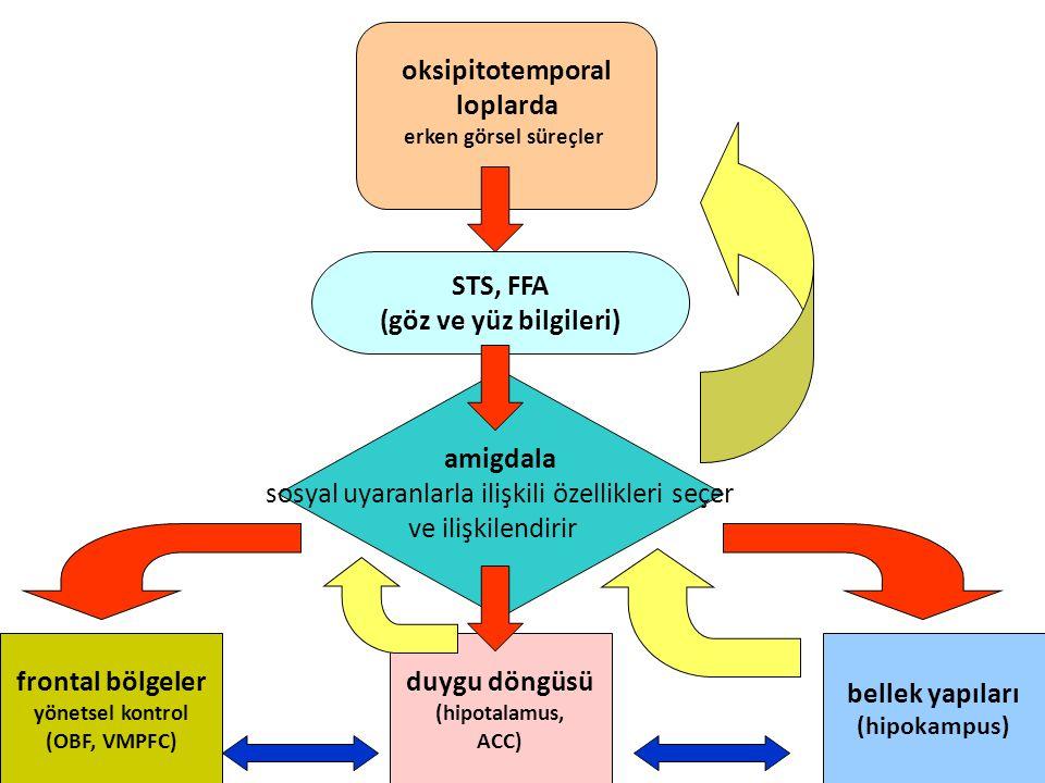 oksipitotemporal loplarda erken görsel süreçler amigdala sosyal uyaranlarla ilişkili özellikleri seçer ve ilişkilendirir STS, FFA (göz ve yüz bilgiler
