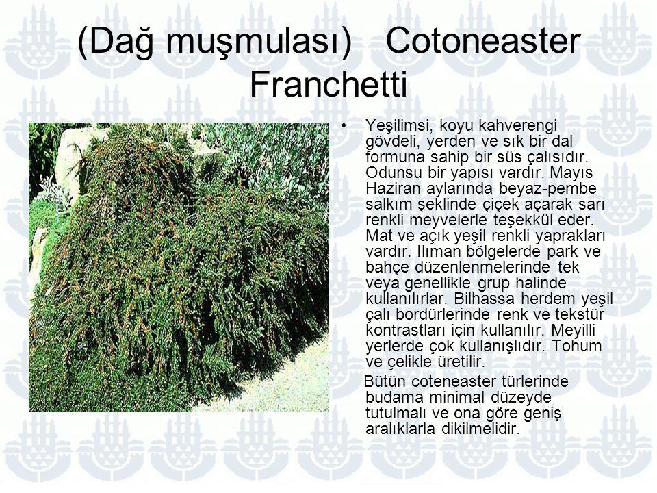 (Dağ muşmulası) Cotoneaster Franchetti Yeşilimsi, koyu kahverengi gövdeli, yerden ve sık bir dal formuna sahip bir süs çalısıdır.