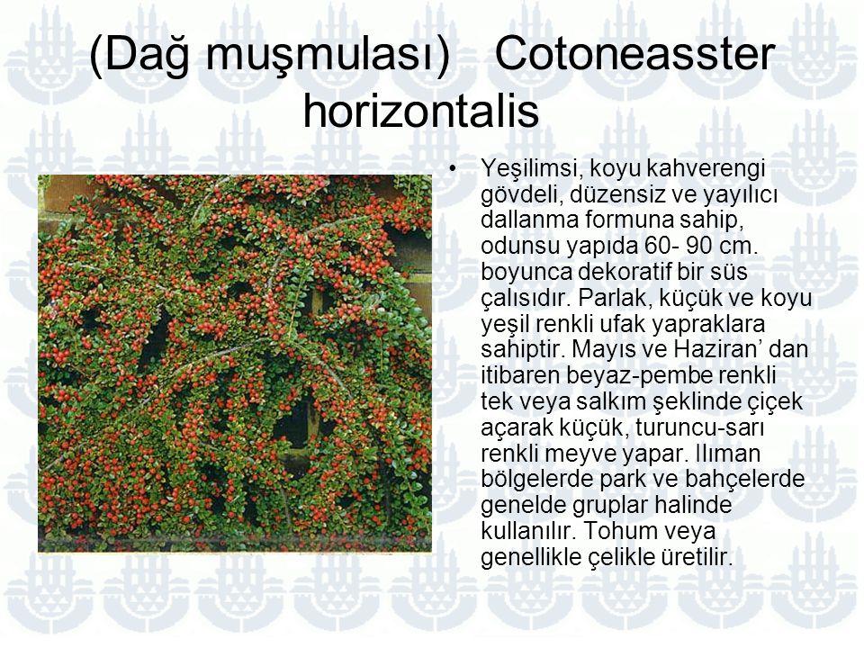 (Dağ muşmulası) Cotoneasster horizontalis Yeşilimsi, koyu kahverengi gövdeli, düzensiz ve yayılıcı dallanma formuna sahip, odunsu yapıda 60- 90 cm.