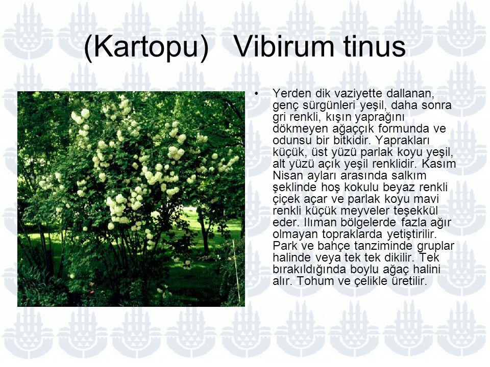 (Kartopu) Vibirum tinus Yerden dik vaziyette dallanan, genç sürgünleri yeşil, daha sonra gri renkli, kışın yaprağını dökmeyen ağaççık formunda ve odunsu bir bitkidir.