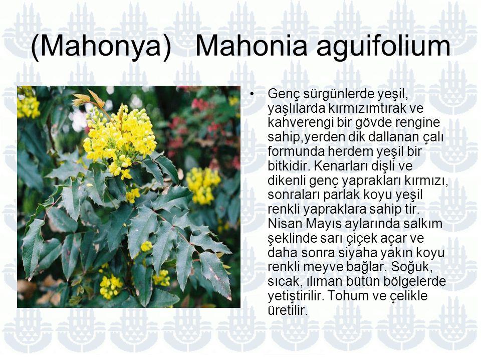 (Mahonya) Mahonia aguifolium Genç sürgünlerde yeşil, yaşlılarda kırmızımtırak ve kahverengi bir gövde rengine sahip,yerden dik dallanan çalı formunda herdem yeşil bir bitkidir.