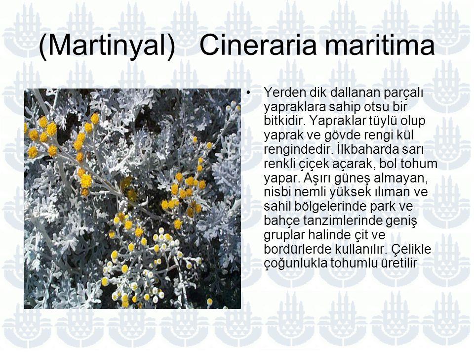 (Martinyal) Cineraria maritima Yerden dik dallanan parçalı yapraklara sahip otsu bir bitkidir.