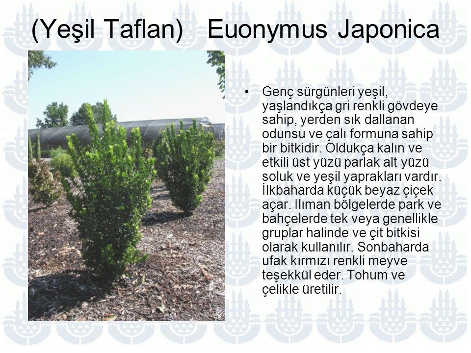 (Yeşil Taflan) Euonymus Japonica Genç sürgünleri yeşil, yaşlandıkça gri renkli gövdeye sahip, yerden sık dallanan odunsu ve çalı formuna sahip bir bitkidir.