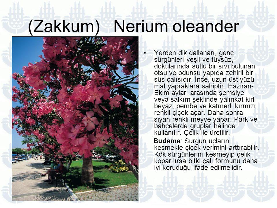 (Zakkum) Nerium oleander Yerden dik dallanan, genç sürgünleri yeşil ve tüysüz, dokularında sütlü bir sıvı bulunan otsu ve odunsu yapıda zehirli bir süs çalısıdır.