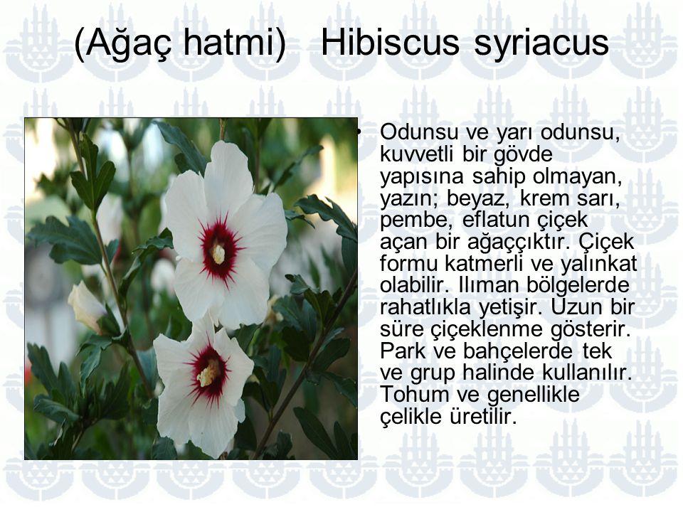 (Ağaç hatmi) Hibiscus syriacus Odunsu ve yarı odunsu, kuvvetli bir gövde yapısına sahip olmayan, yazın; beyaz, krem sarı, pembe, eflatun çiçek açan bir ağaççıktır.