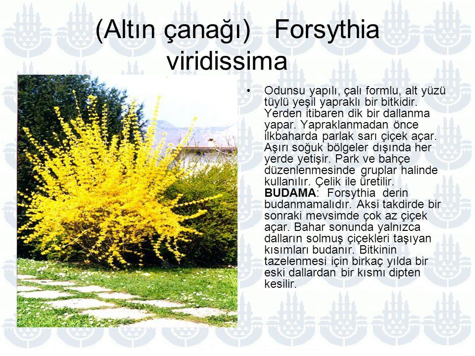 (Altın çanağı) Forsythia viridissima Odunsu yapılı, çalı formlu, alt yüzü tüylü yeşil yapraklı bir bitkidir.