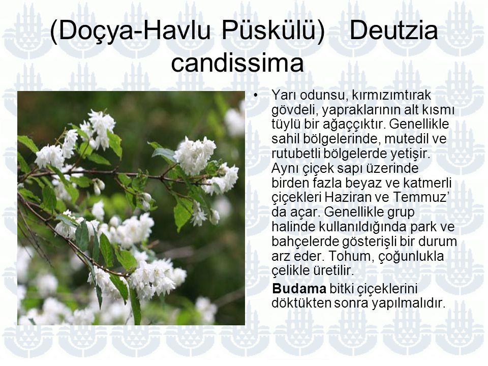(Doçya-Havlu Püskülü) Deutzia candissima Yarı odunsu, kırmızımtırak gövdeli, yapraklarının alt kısmı tüylü bir ağaççıktır.
