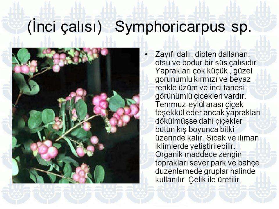 (İnci çalısı) Symphoricarpus sp.Zayıfı dallı, dipten dallanan, otsu ve bodur bir süs çalısıdır.