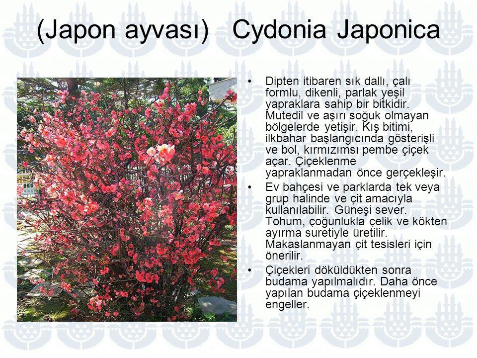 (Japon ayvası) Cydonia Japonica Dipten itibaren sık dallı, çalı formlu, dikenli, parlak yeşil yapraklara sahip bir bitkidir.